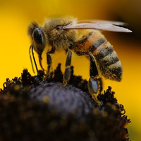 The Biology of Bees