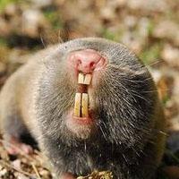 Garden Pest Moles